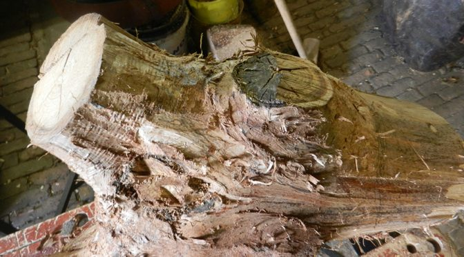 houtsoorten en bomen: Japanse kastanje